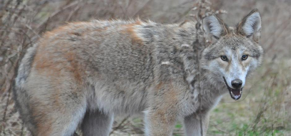 Portsmouth Resident Coyotes
