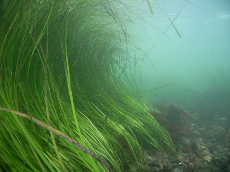 Report: Jamestown Area Experiences 19% Decrease in Eelgrass Acreage